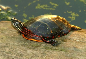 A library picture of a painted turtle.